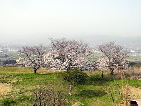 sanposakura201303